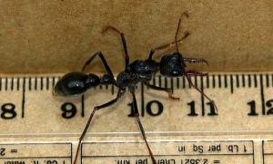 Inch Ant image off the net